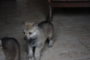 Czechoslovakian Wolfdog puppie 4 weeks old