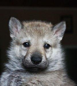 Czechoslovakian Wolfdog puppie 4 weeks old