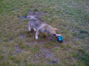 Pandora plays with her activity ball