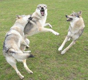 Czechoslovakian wolfdogs playing