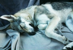 A tired dog