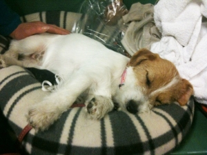 A very tired Jack Russel baby