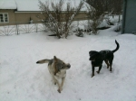 Pandora and Bandit playing in the snow