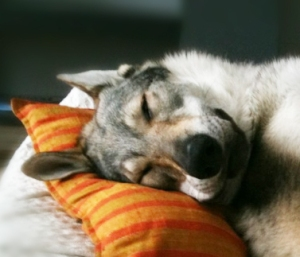 A tired wolfdog sleeping