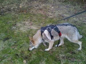 Czechoslovakian wolfdog walking a track