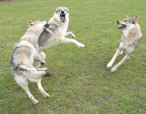 Czechoslovakian wolfsdogs playing