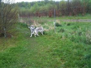 Czechoslovakian wolfdogs
