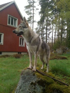 Czechoslovakian wolfdog in Sweden