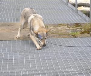 Czechoslovakian wolfdog afraid