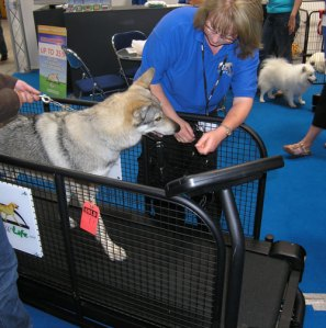 Czechoslovakian wolfdog in treadmill