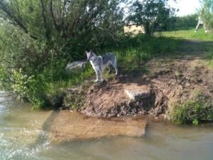 Czechoslovakian Wolfdog by the lake