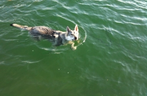 Czechoslovakian wolfdog swimming