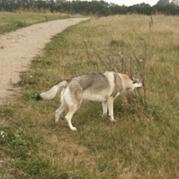 Czechoslovakian wolfdog bored