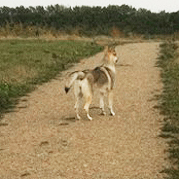 Czechoslovakian wolfdog observing