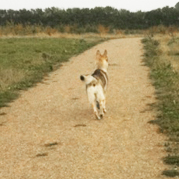 Czechoslovakian wolfdog curious