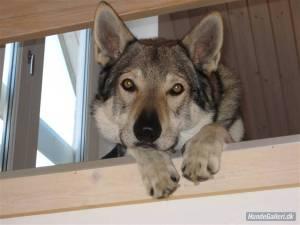 Cember, czechoslovakian wolfdog