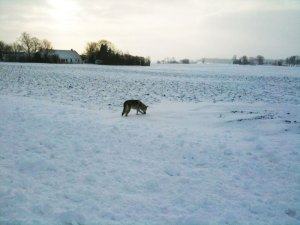 Czechoslovkian wolfdog in snow