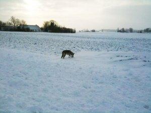 Czechoslovkian wolfdog in snow