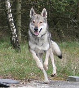 Czechoslovakian Wolfdog Cember