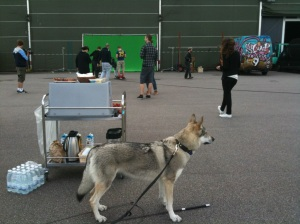 czechoslovakian-wolfdog on the set