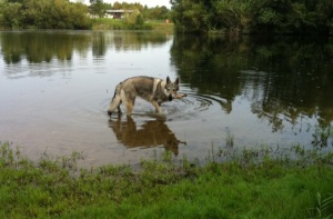 Czechoslovakian wolfdog bathing