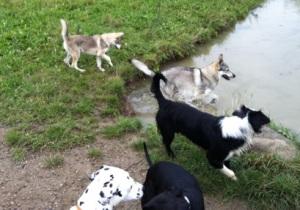 Czechoslovakian wolfdog with friends