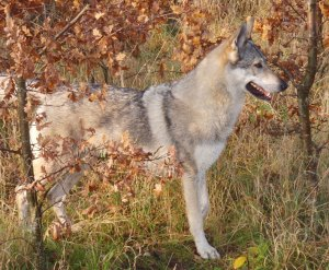 Czechoslovakian_wolfdog Pandora between oak trees