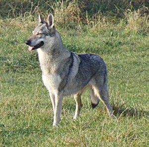 Czechoslovakian_wolfdog_Pandora smiling