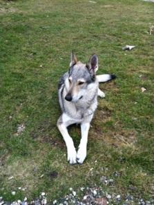 czechoslovakian-wolfdog_pandora_in_garden