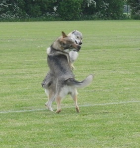 Czechoslovakian-wolfdogs-playing