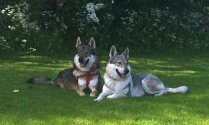 Czechoslovakian-wolfdogs-resting