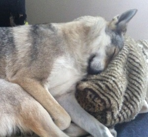 Czechoslovakian-wolfdog-female-sleeping