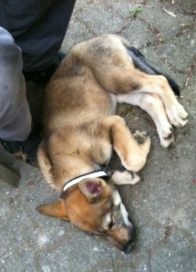 Czechoslovakian wolfdog puppy sleeping