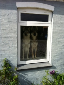Chechoslovakian wolfdogs in window