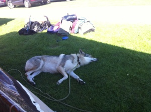 Chechoslovakian wolfdog on camping