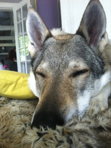 Chechoslovakian wolfdog sleepy head