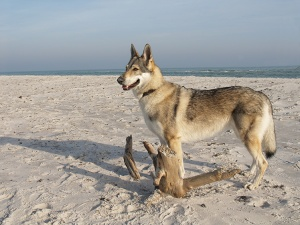 Czechoslovakian wolfdog at Dueodde