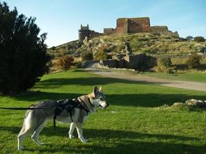 Czechoslovakian wolfdog at Hammershus
