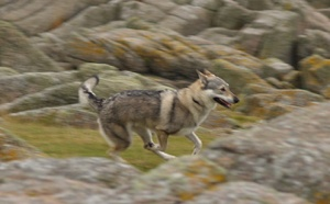 Czechoslovakian wolfdog blowing out steam