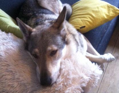 Czechoslovakian wolfdog sleepy
