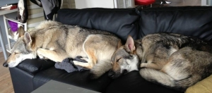 Czechoslovakian wolfdogs sleeping