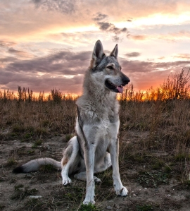 Czechoslovakian wolfdog Pandora van Goverwelle