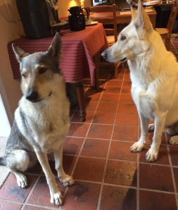 Czechoslovakian wolfdog and white german shepherd