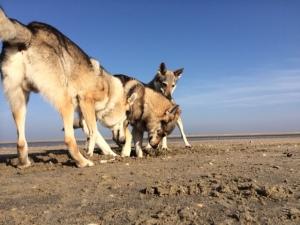 Czechoslovakian wolfdogs Pandora Uno and Xtreme