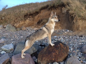 Czechoslovakian wolfdog Pandora at Fynshoved