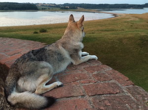 czechoslovakian-wolfdog at top of the castle