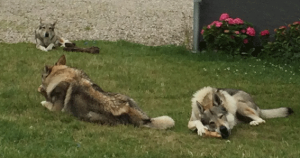 three czechoslovakian wolfdogs with bones in the garden