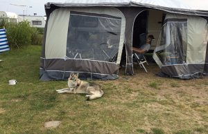 czechoslovakian wolfdog in front of tent